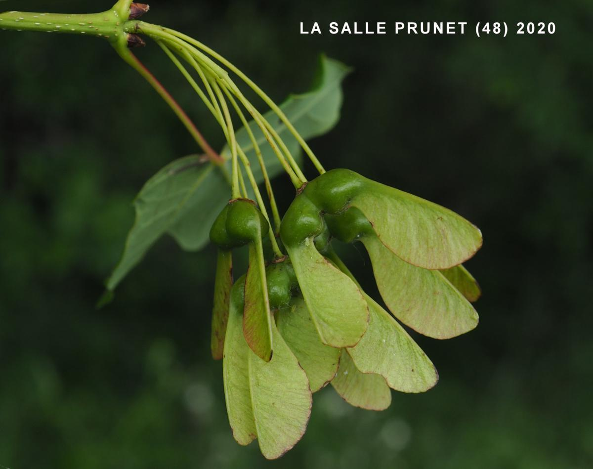 Maple, Montpellier fruit