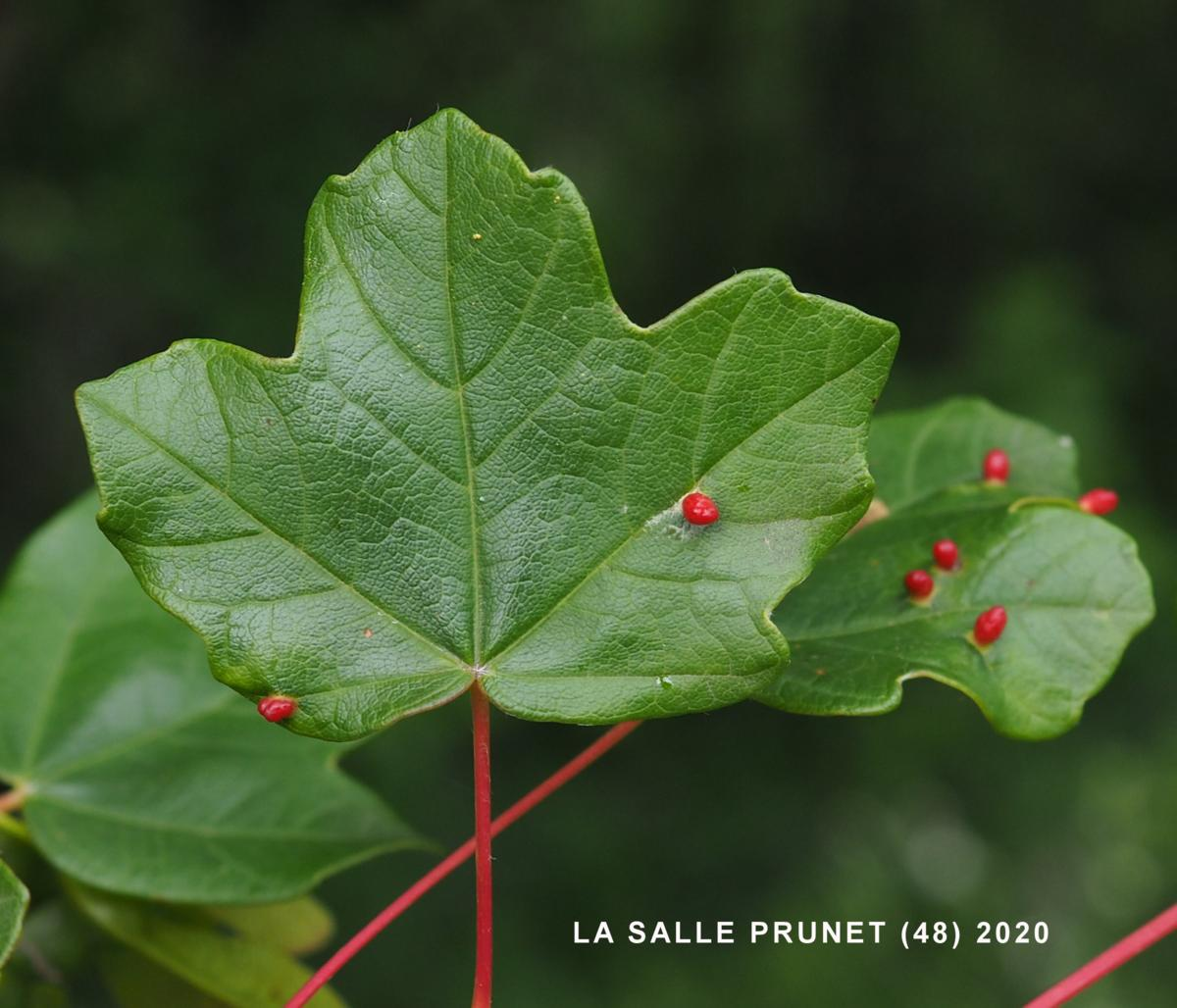 Maple, Montpellier leaf