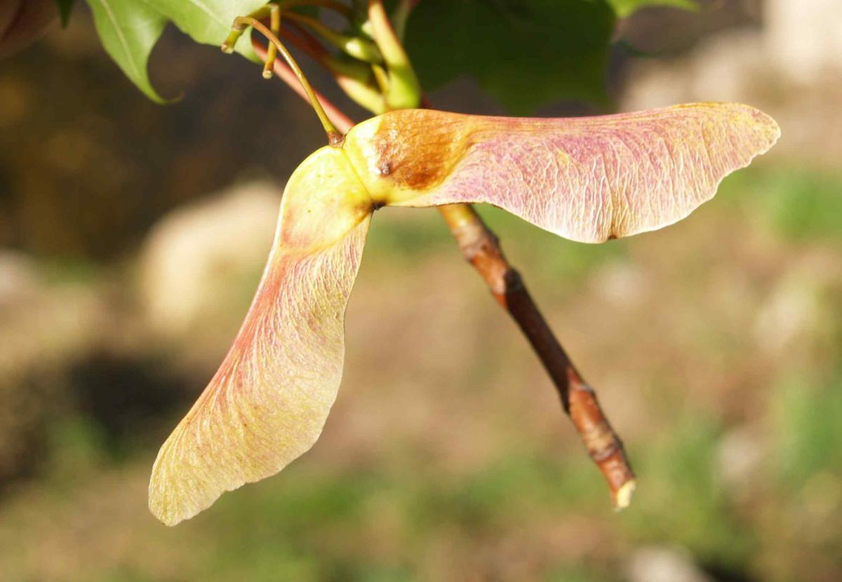 Maple, Norway fruit