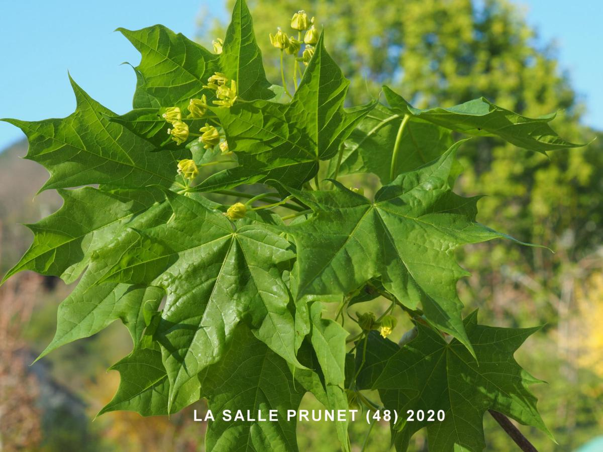 Maple, Norway leaf