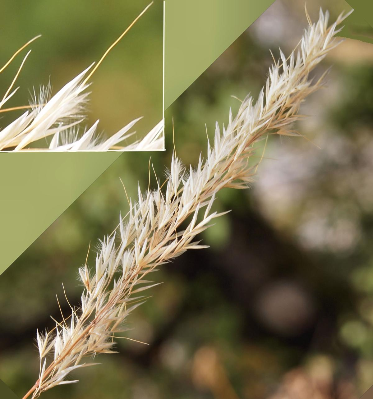 Silver Spear Grass flower