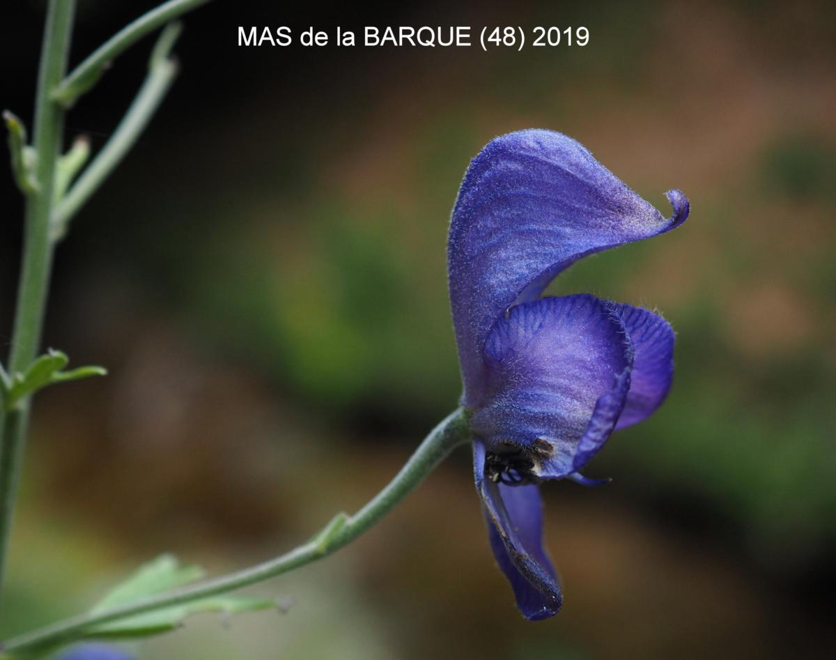 Monkshood flower