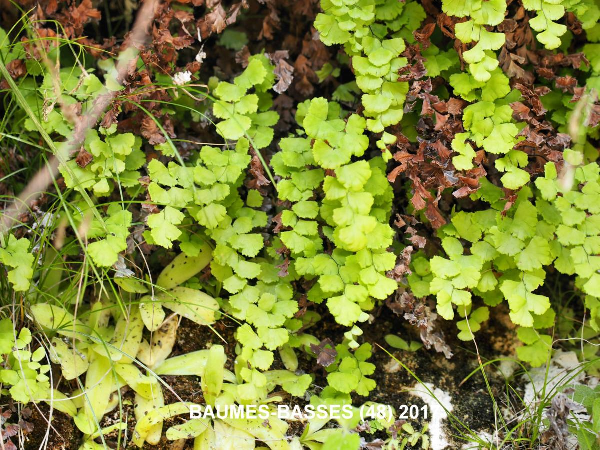 Maidenhair Fern, True plant
