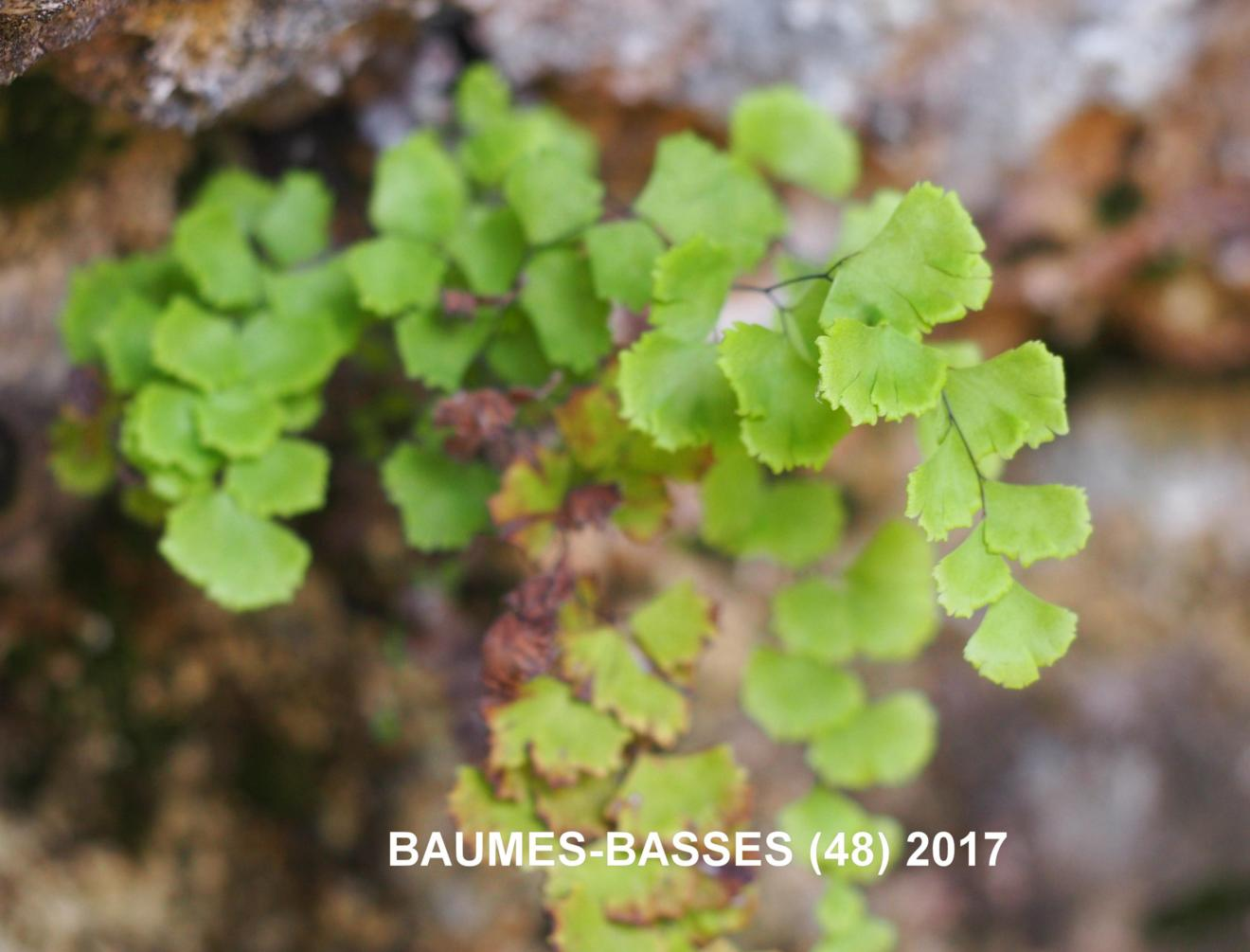 Maidenhair Fern, True
