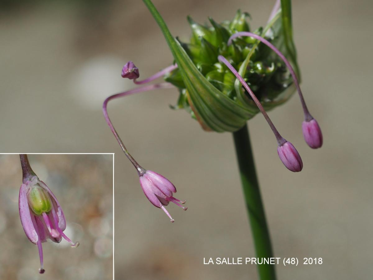 Garlic, (Flexible) flower