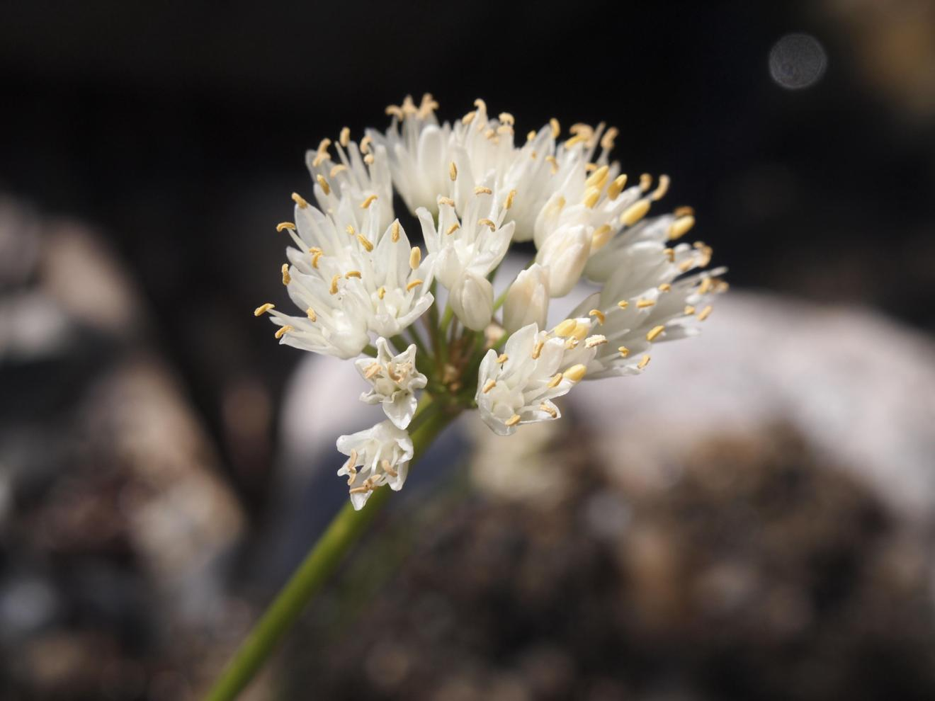 Garlic, Mountain var. albino