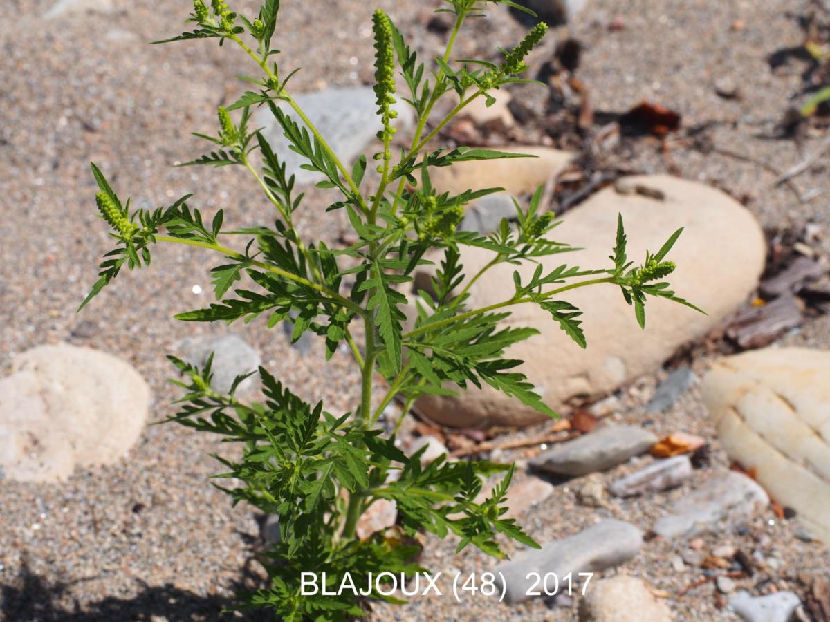 Ragweed, Common leaf