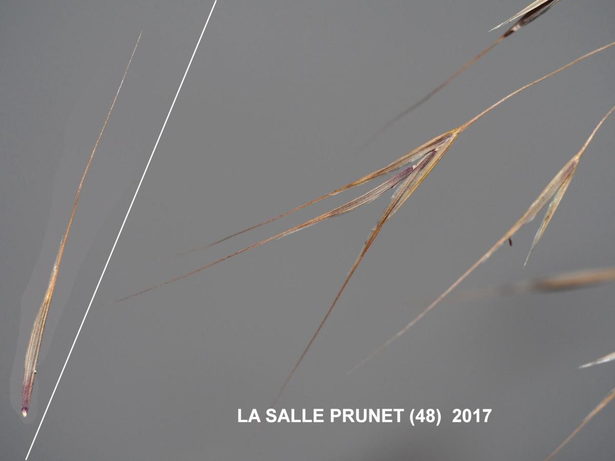 Brome, Barren fruit