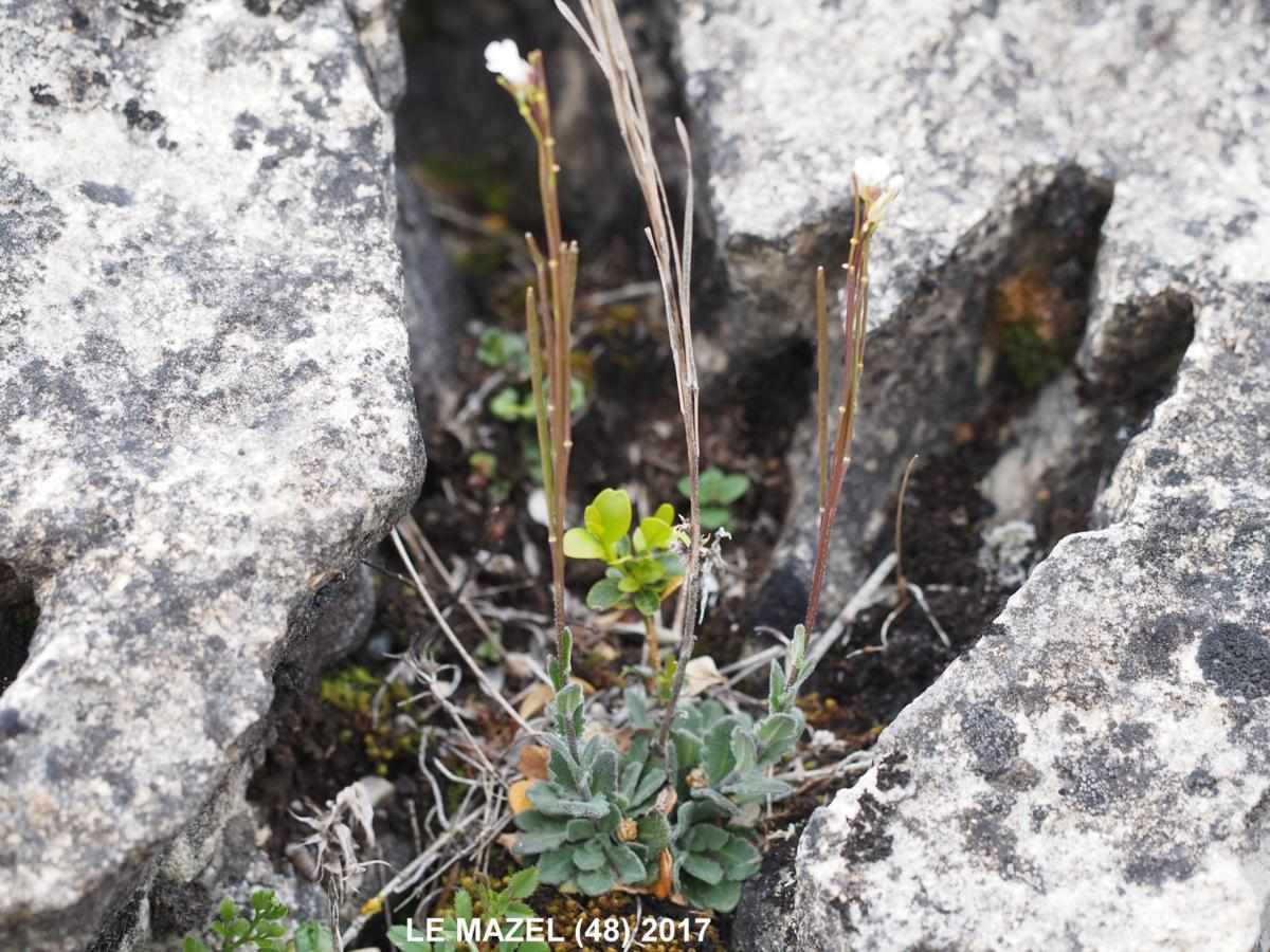 Rock-cress, [Hilly] plant