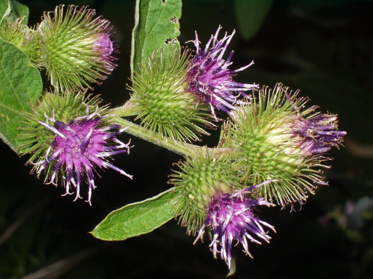 Burdock, Common flower