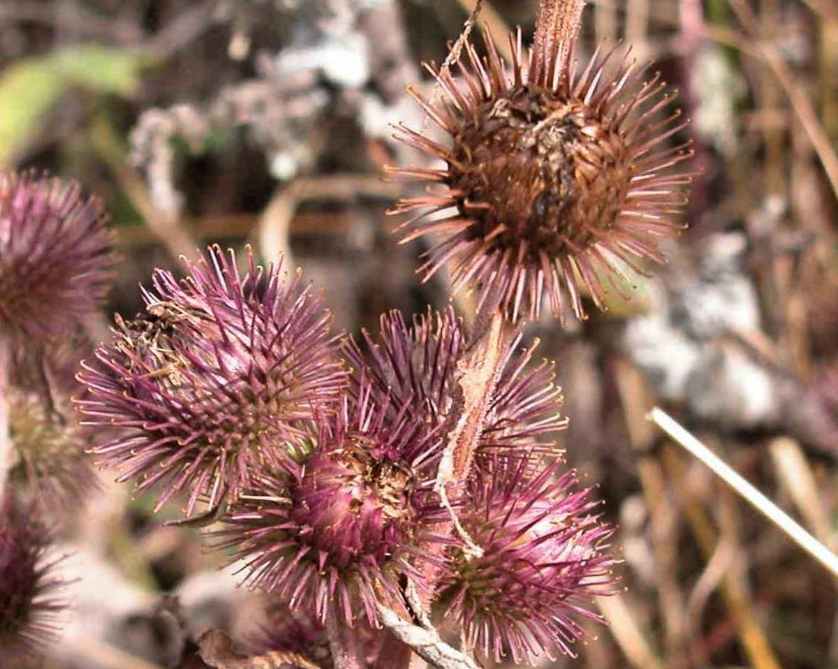 Burdock, Common fruit