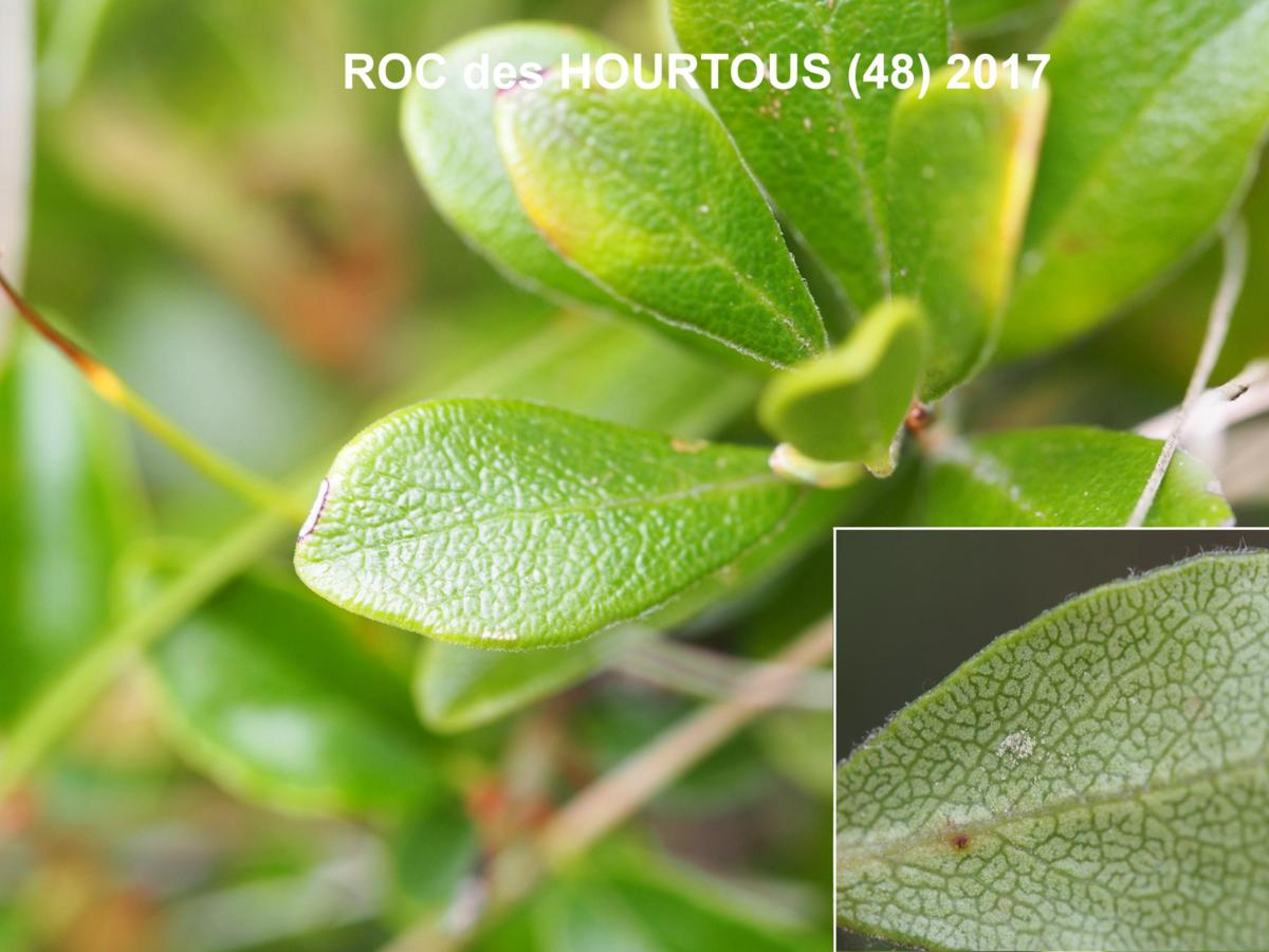 Bearberry leaf