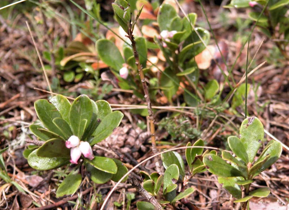 Bearberry plant