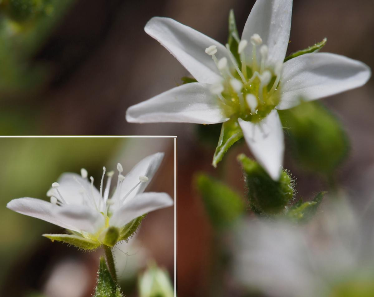 Sandwort, Cadi flower