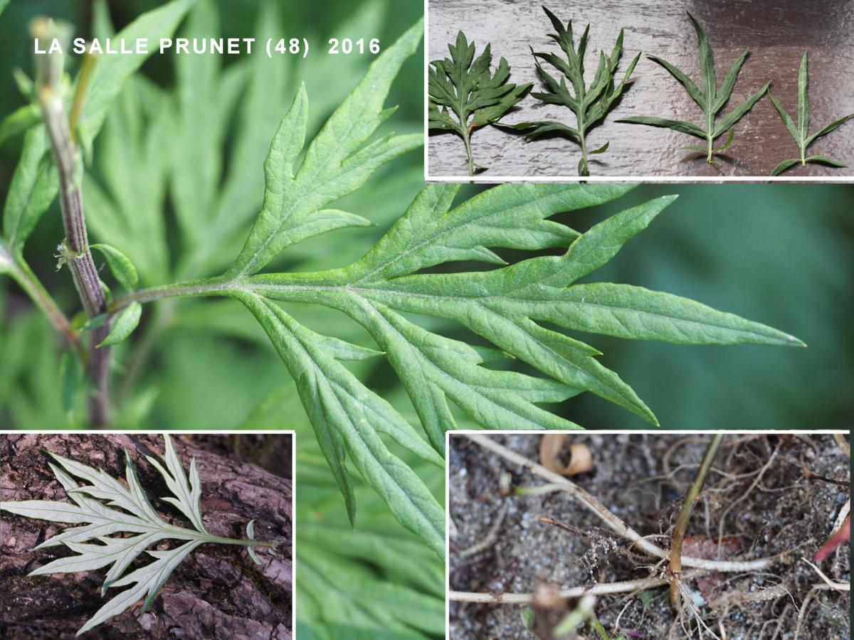 Wormwood, Chinese leaf