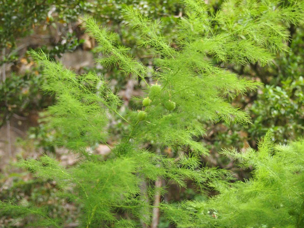 Asparagus, leaves outstretched plant