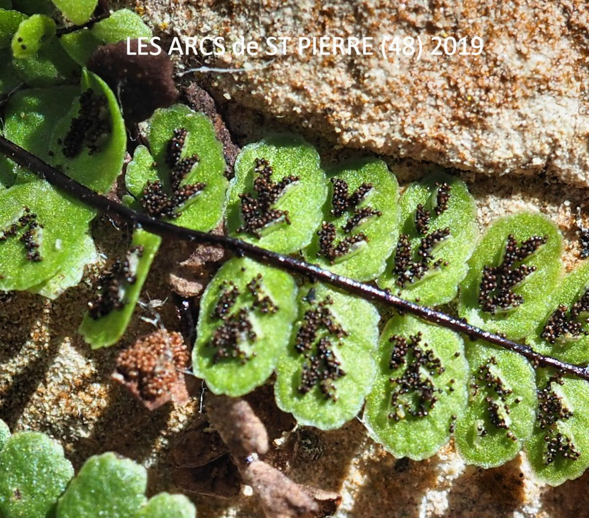 Spleenwort, Maidenhair fruit