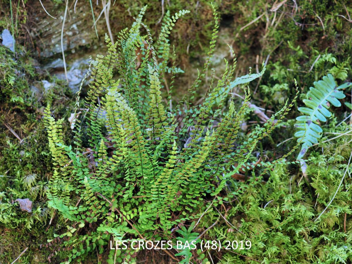 Spleenwort, Maidenhair