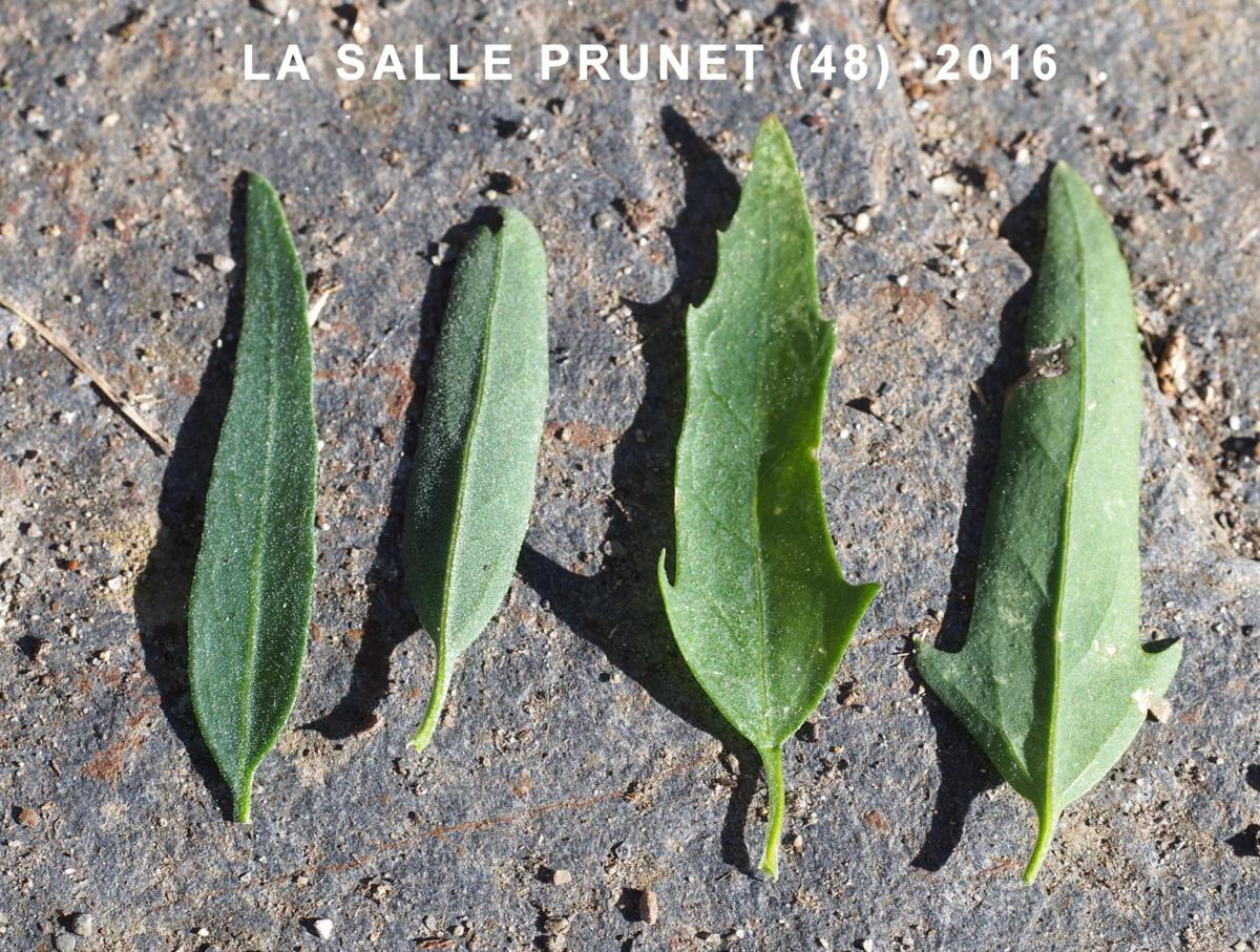 Orache, Common leaf