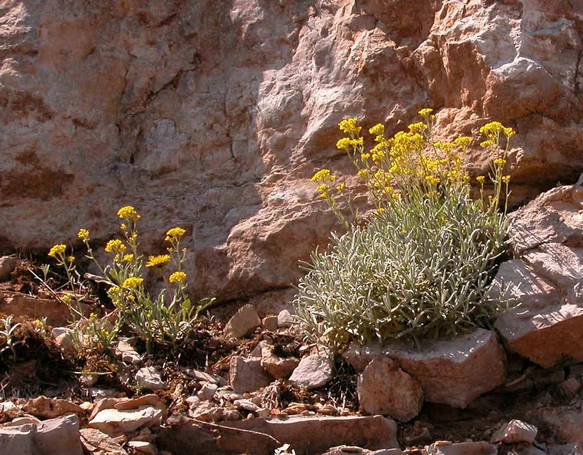 Alyssum, Golden plant