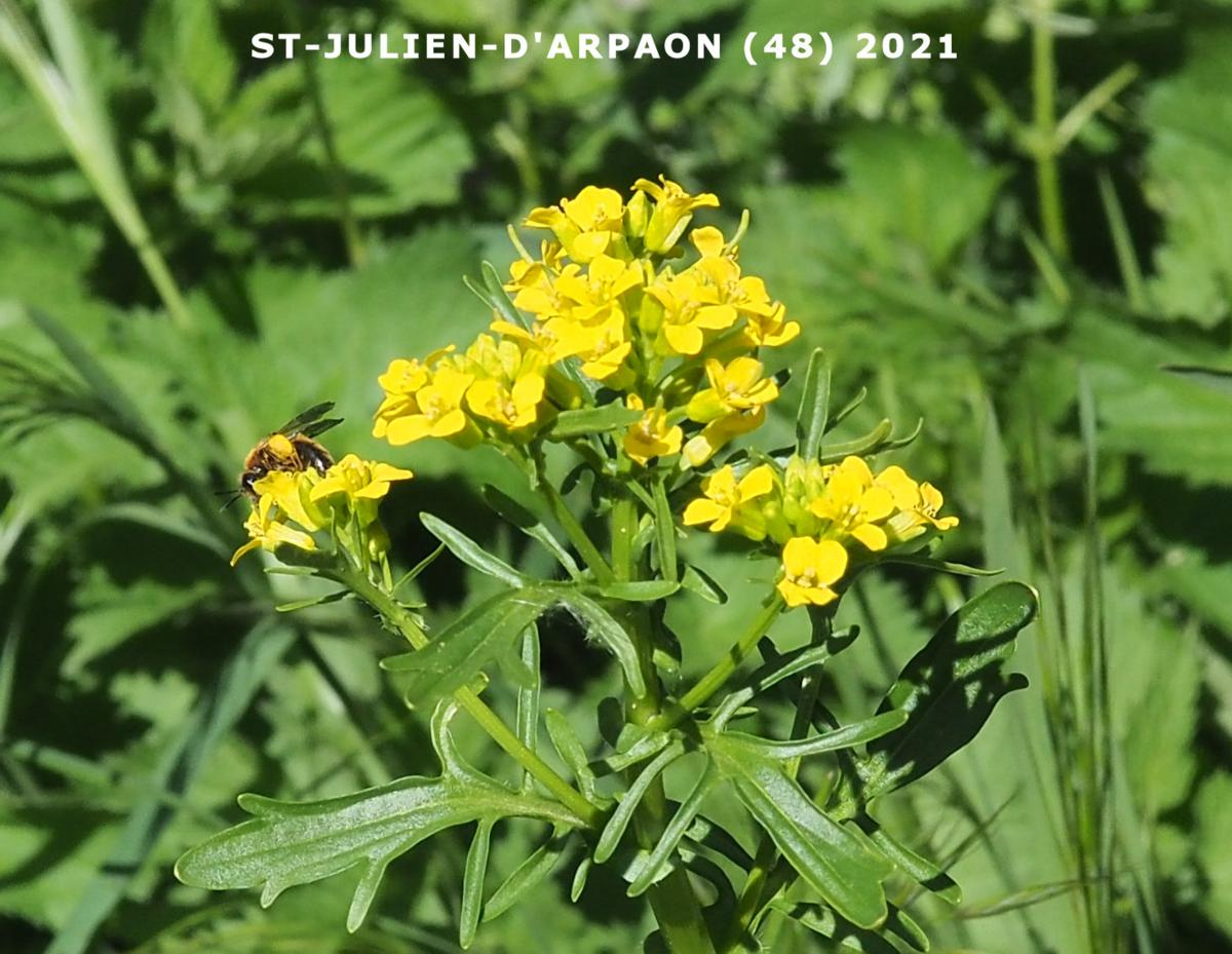 Winter Cress, Spring plant