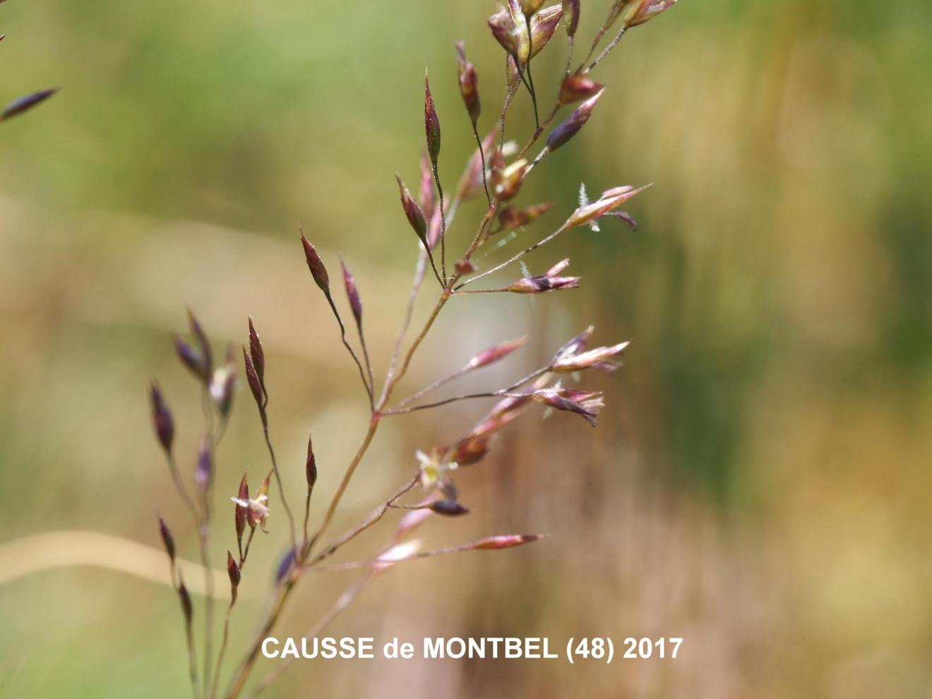 Meadow-grass, (Variegated)