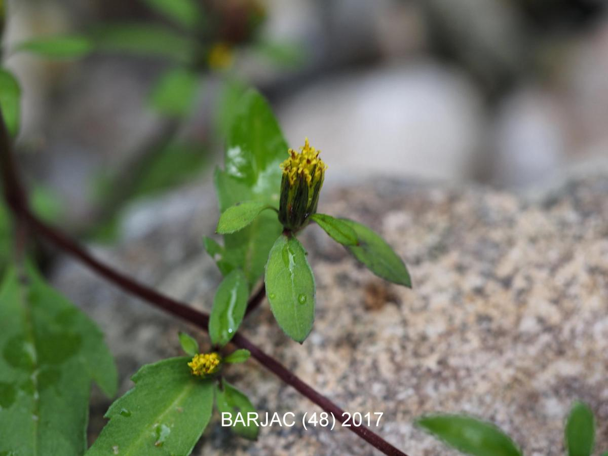 Bur marigold, Tripartite flower