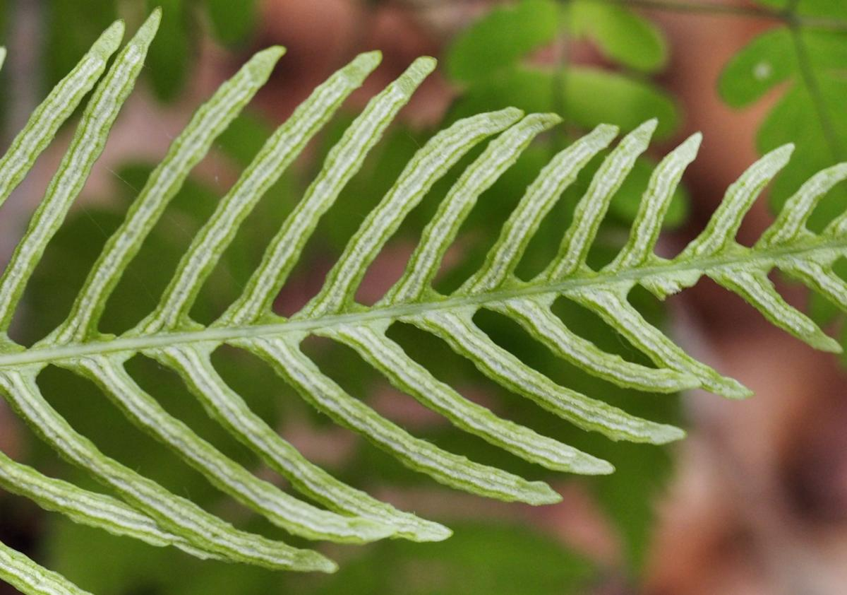 Fern, Hard fruit