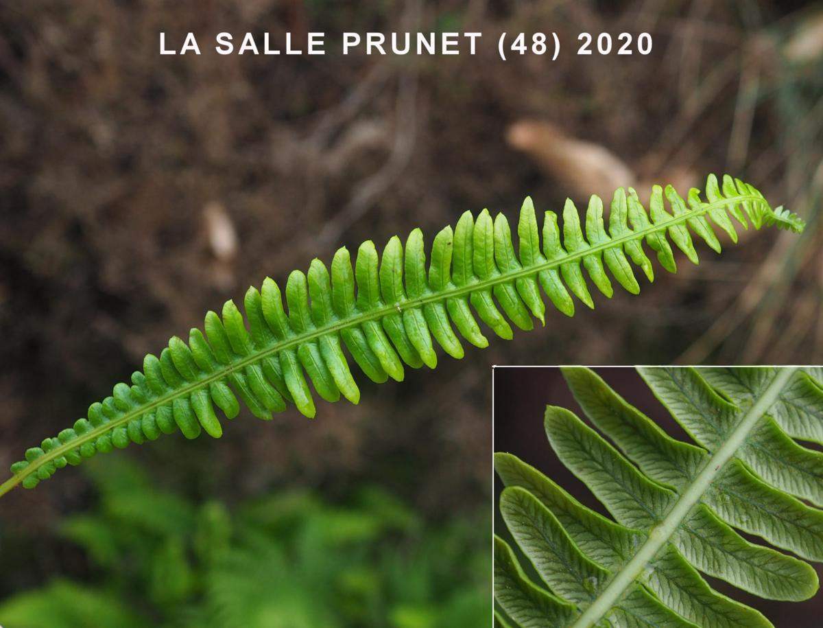Fern, Hard leaf