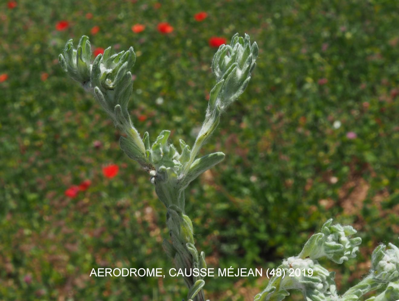 Cudweed, Upright
