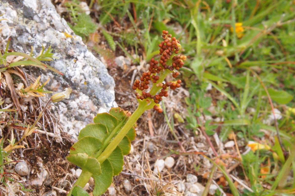 Moonwort fruit