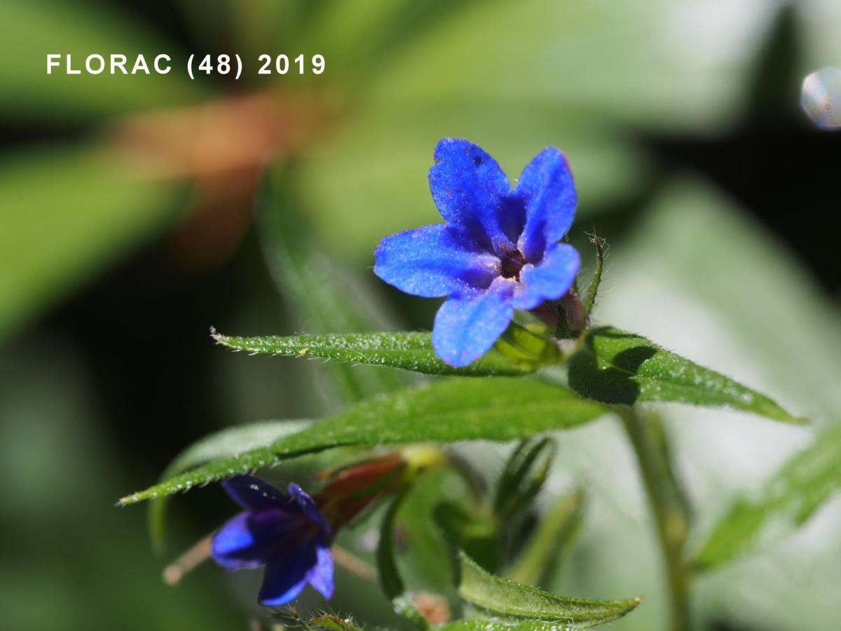 Gromwell, Blue flower