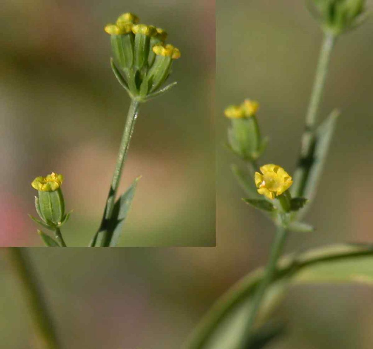 Hare's-Ear, Sickle-leaved flower
