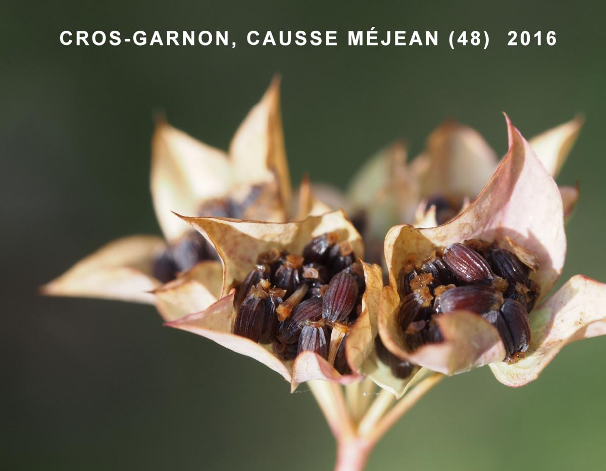 Hare's-Ear, Common fruit