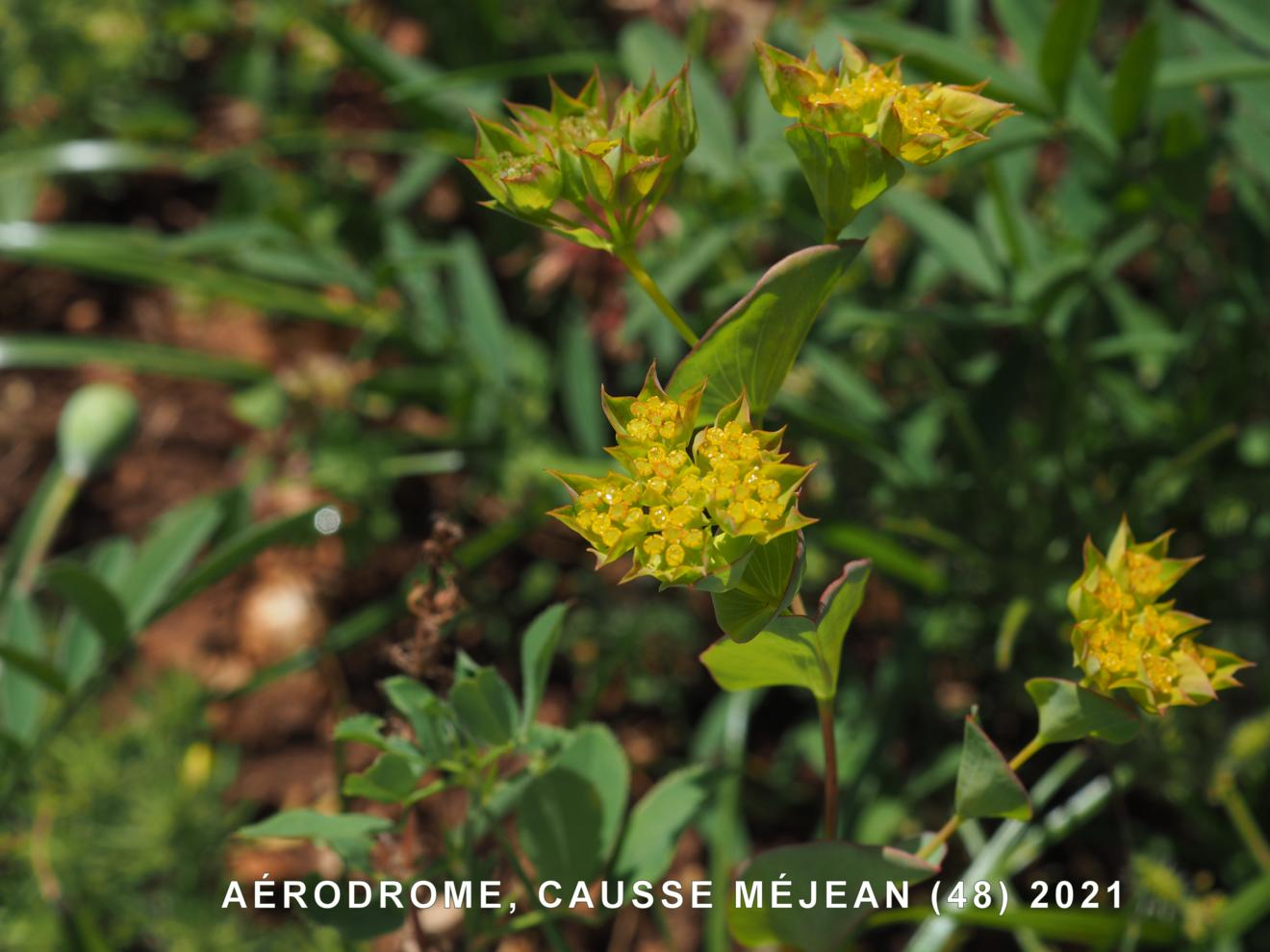 Hare's-Ear, Common