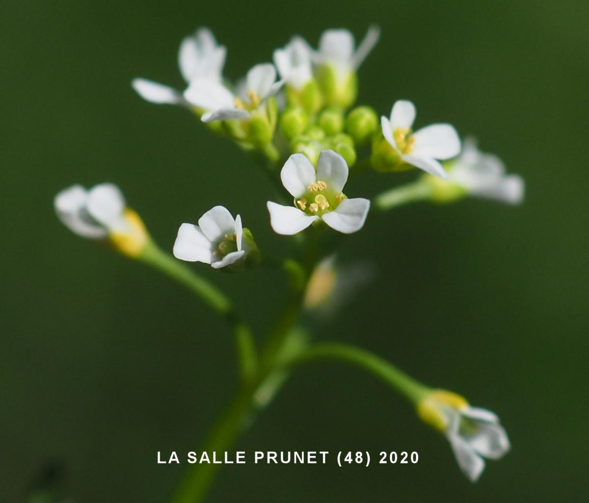 White Ball Mustard flower