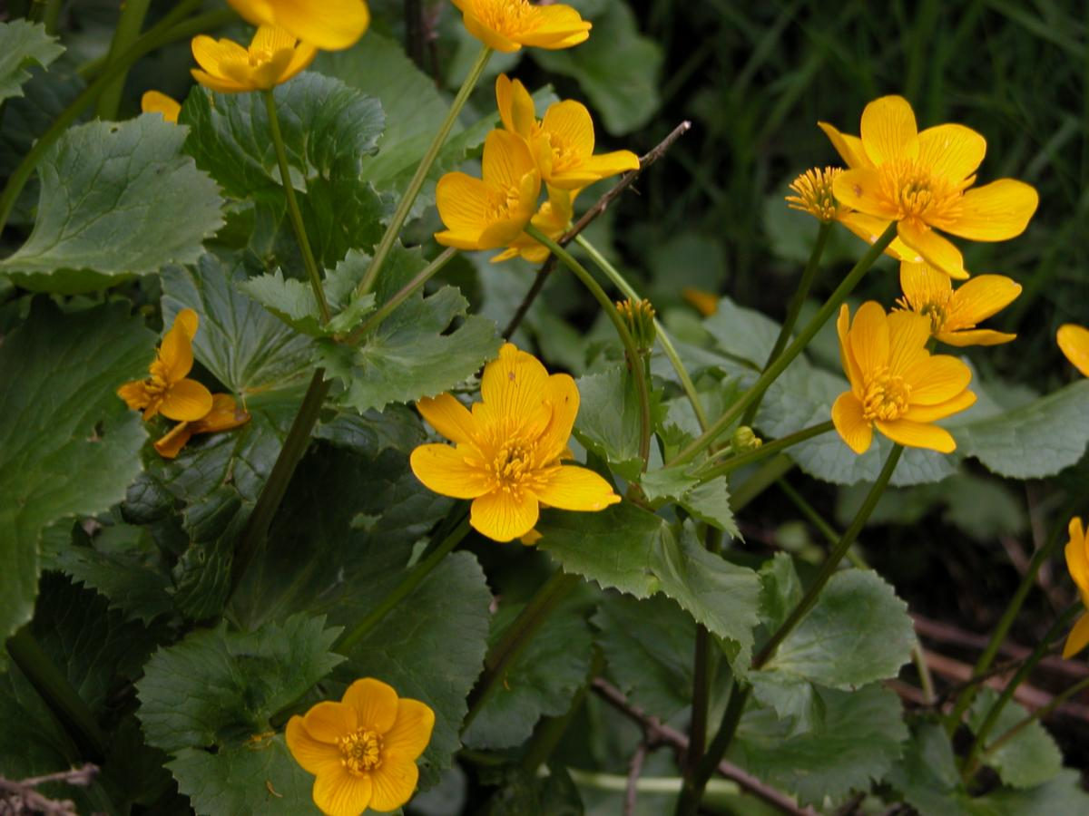 Kingcup, Marsh Marigold flower