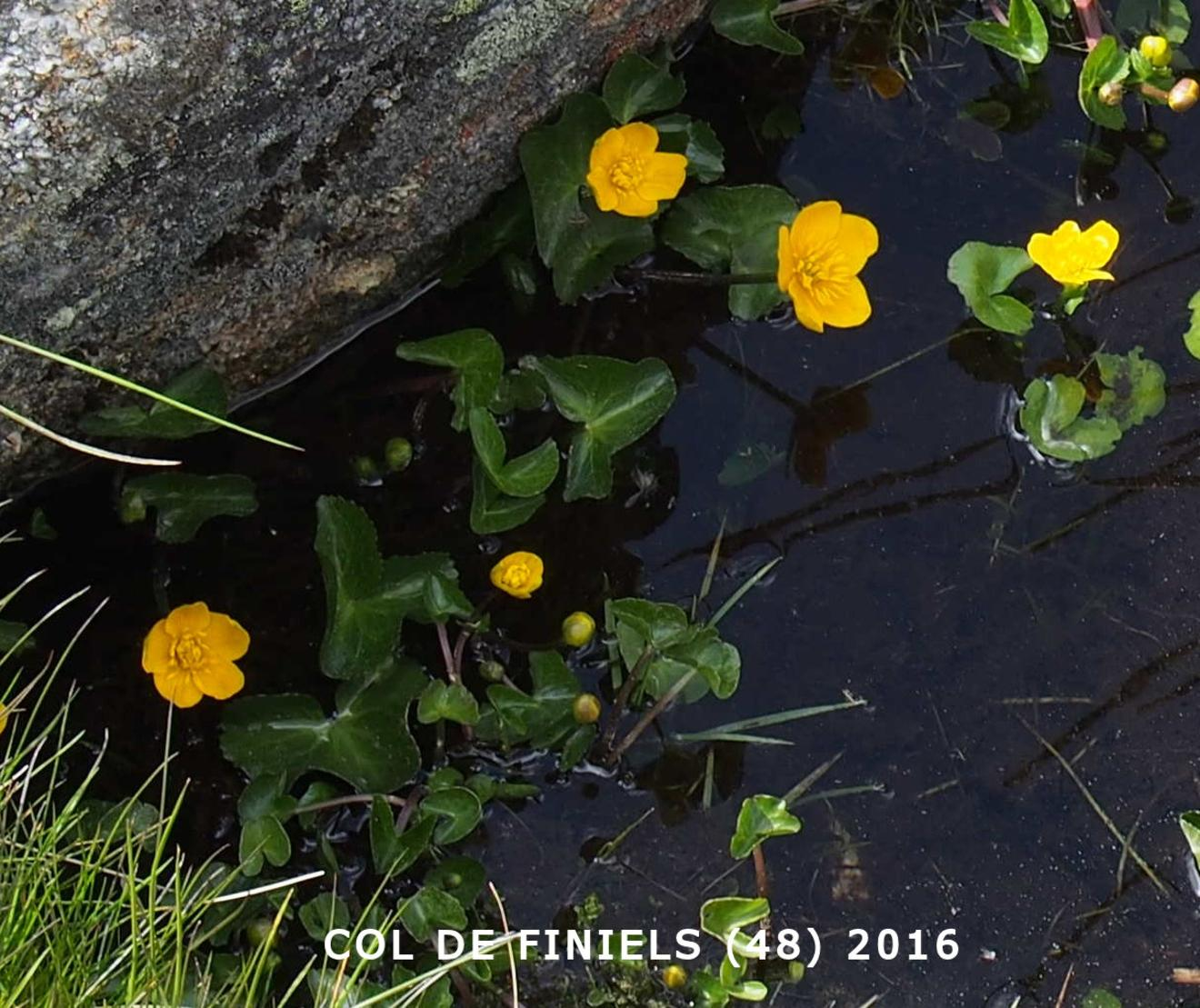Kingcup, Marsh Marigold
