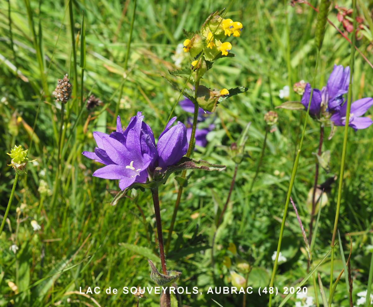 Bellflower, Clustered flower