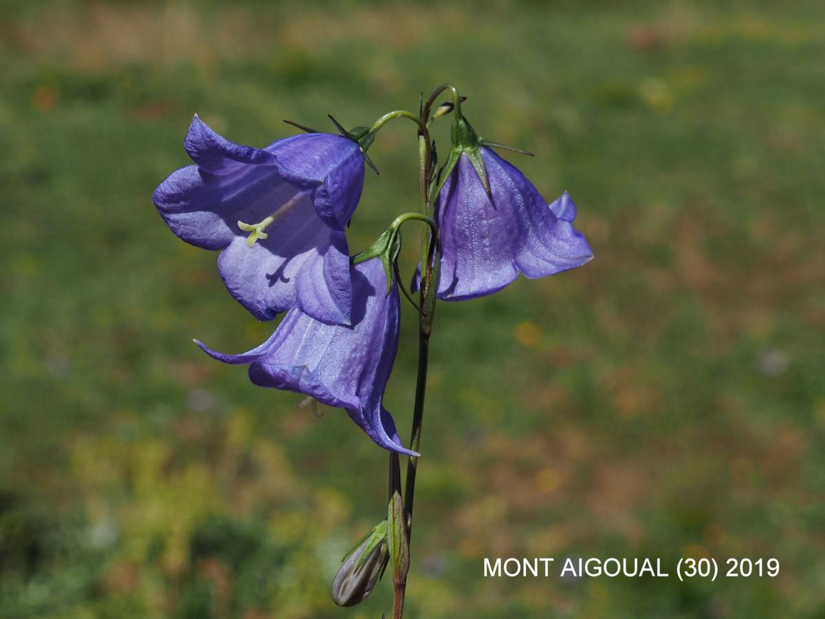 Bellflower, [Erect] flower