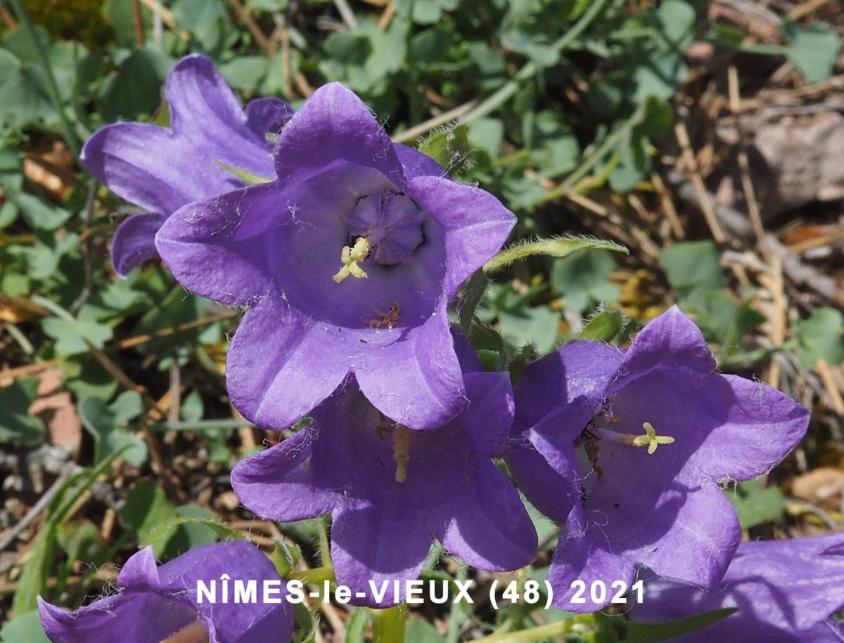 Bellflower, Pyrenean flower