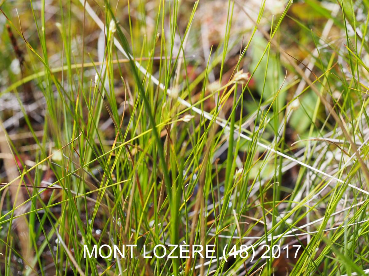 Sedge, White leaf