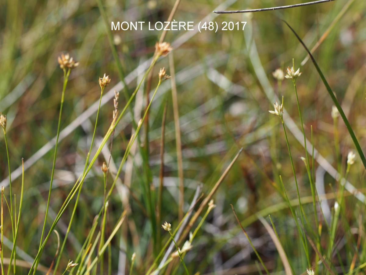 Sedge, White plant