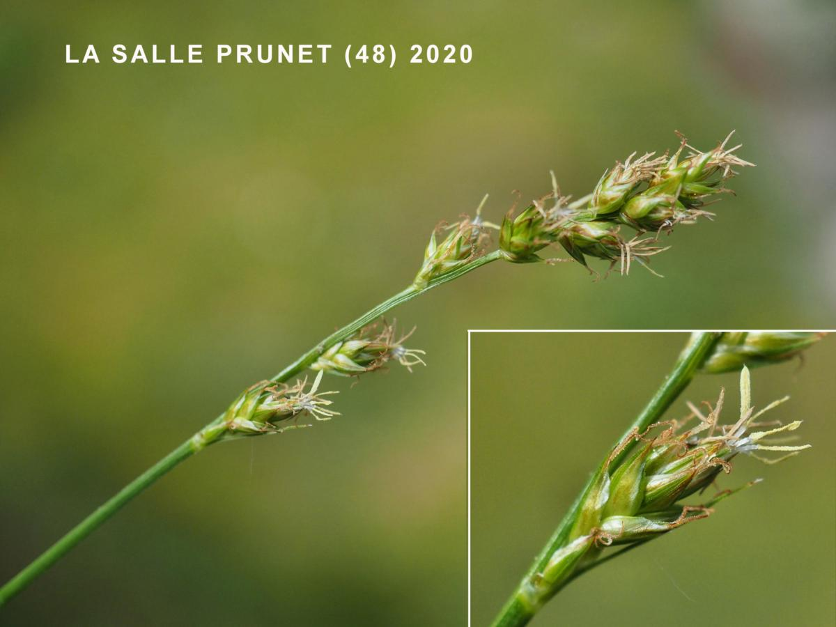 Sedge, Grey flower