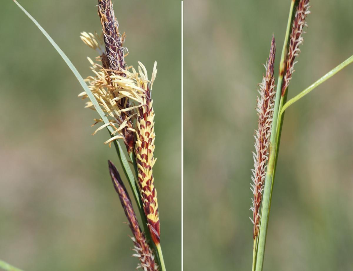 Sedge, Hairy flower