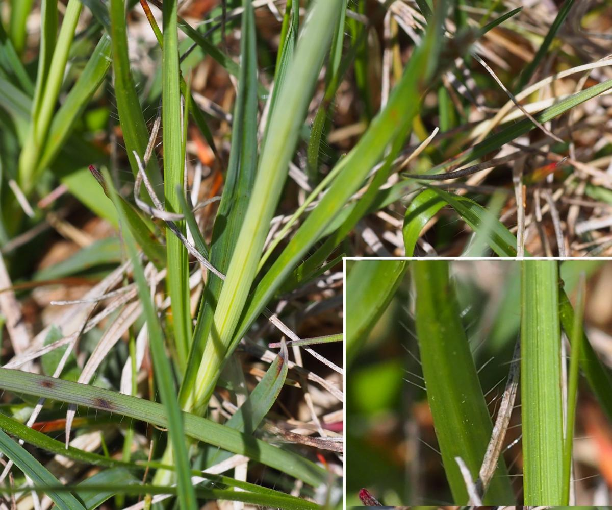 Sedge, Hairy leaf