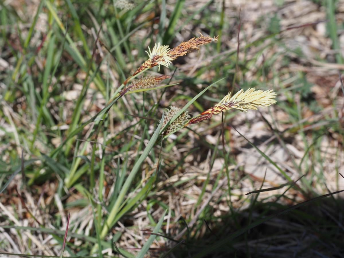 Sedge, Hairy plant