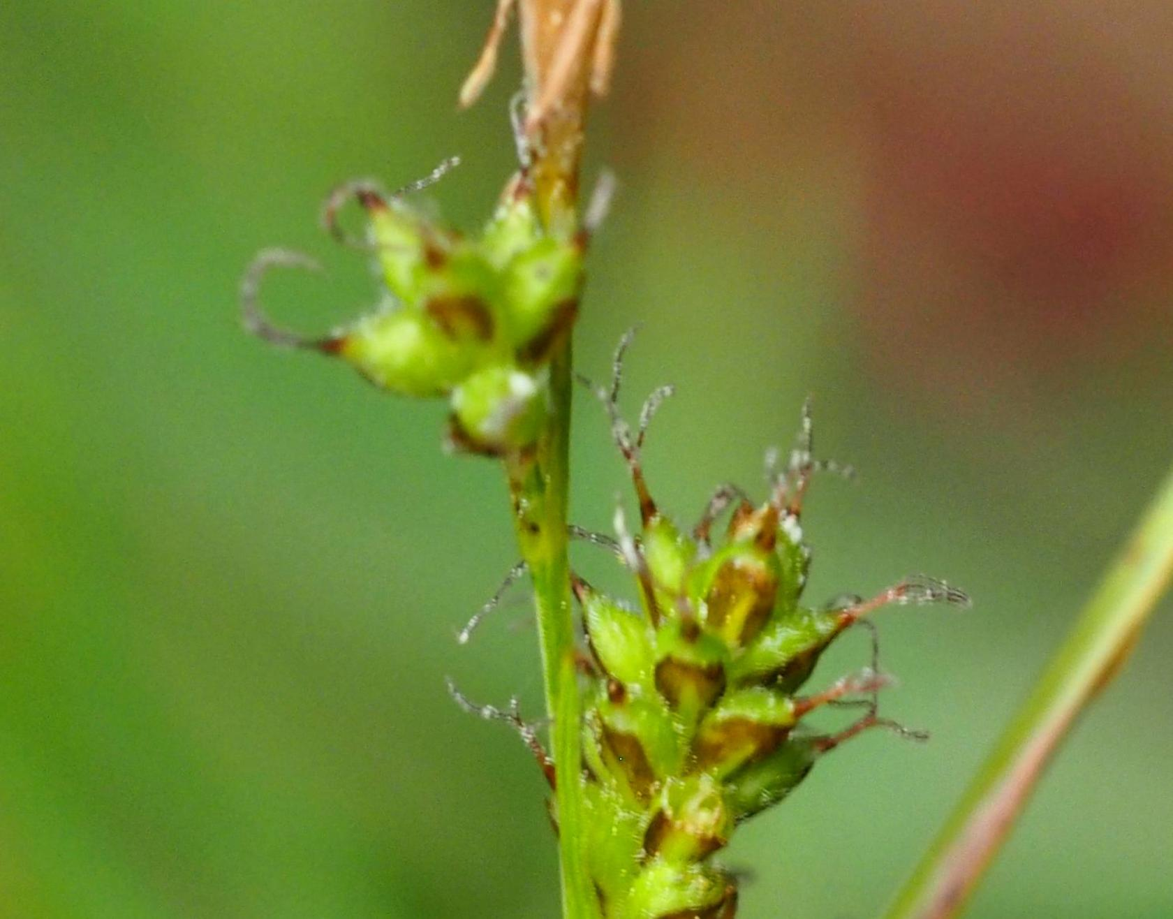Sedge, Umbrosa
