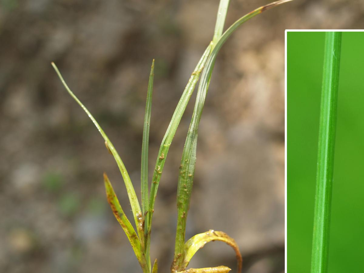 Sedge, Bladder leaf