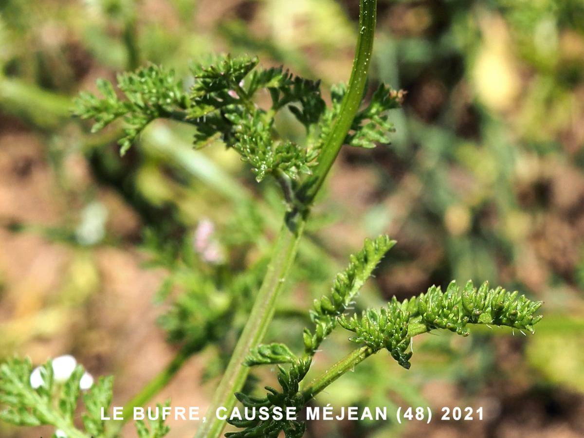 Burr Parsley, Carrot  leaf